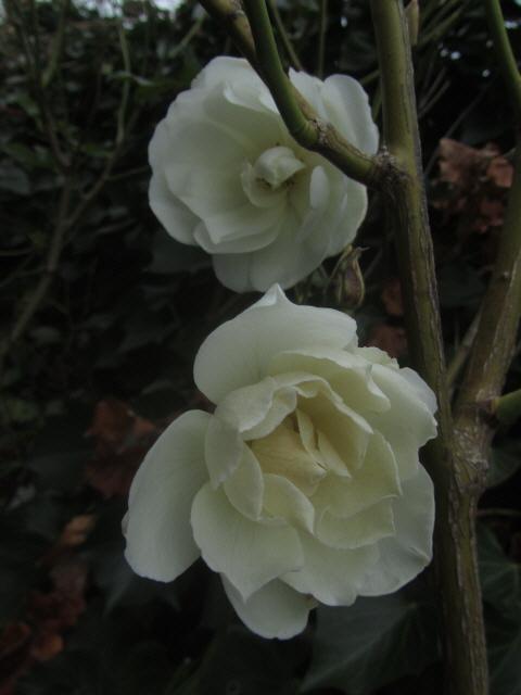 efeu-rosenweiss121106