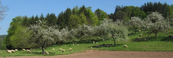 """Staudenhöfe bei Sexau/Emmendingen am 17.4.2011: Blick nach Osten bei Gasthaus """"Staude"""" - Schafe"""