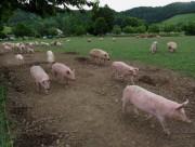 schweine3auslauf140530