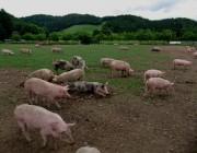 schweine5auslauf140530
