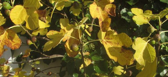 Feigen im Herbst an der Gartenmauer 2.11.2015
