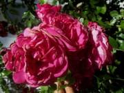 rose-rot-gefuellt140620