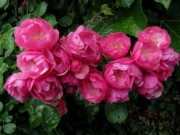 rosen-rot140530