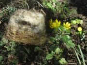 vogelnest-winterling140210