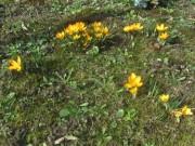 krokus-gelb140224