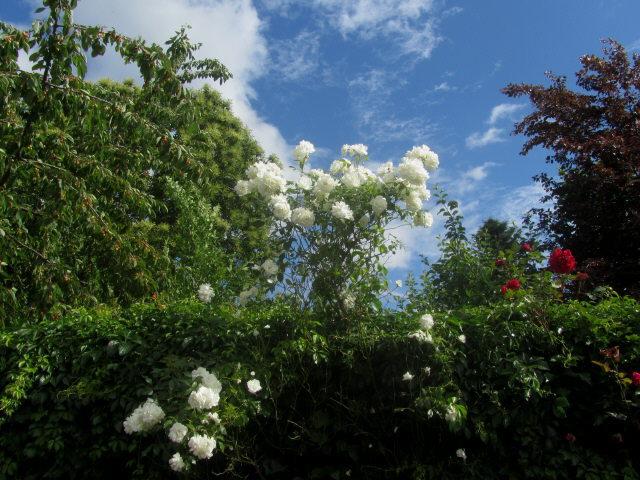 rosen-weiss130622
