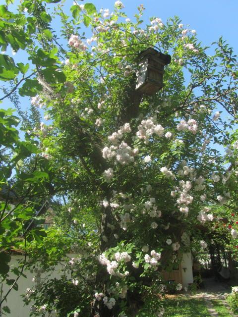 rosen1mirabellenbaum150604