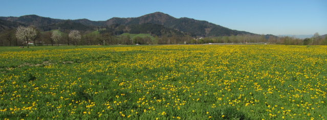Blick im Dreisamtal über blühenden Löwenzahn zum Kybfelsen am 19.4.2015