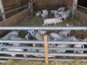 baldenwegerhof-schweine140129