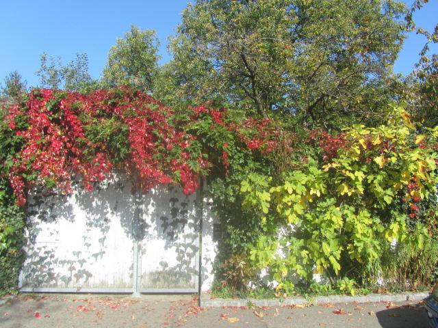 gartenmauer-wein-feige151021