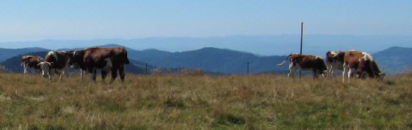 Rinder ganz oben am Feldberg in fast 1500 m Höhe am 31.8.2009