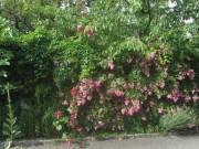 rosen-gartenmauer150626