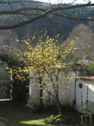 hamamelis140109