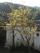 hamamelis1baum140109