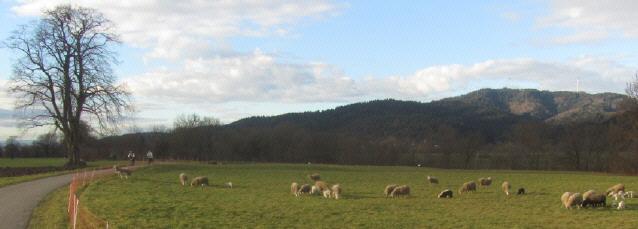Schafe mit Nachwuchs im Dreisamtal am 7.1.2014 bei 15 Grad PLUS
