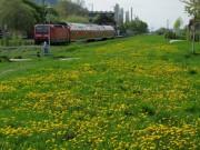 hoellentalbahn1-loewenzahn110413