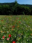 wildblumen4dreisamtal140703