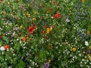 wildblumen5dreisamtal140703