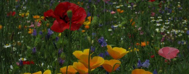 Blumen als Bienen-Weide in Freiburg-Ebnet im Mai 2014