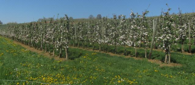 Apfelblüte im Eggenertal am 19.4.2015