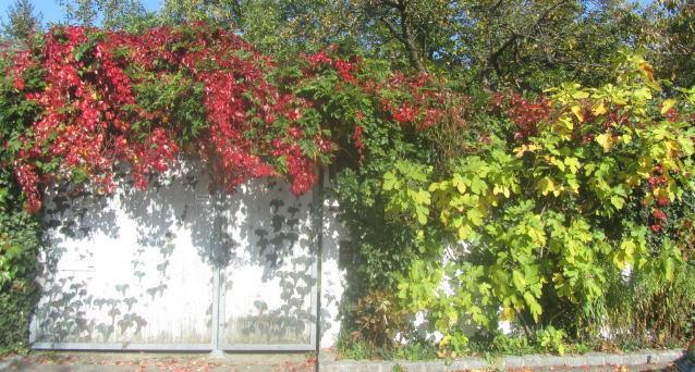 Gartenmauer, Wilder Wein und Feige am 26.10.2015 - Goldner Oktober-Herbst in Freiburg