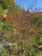 trockenmauer2garten-rosen151021
