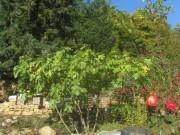 trockenmauer3garten-feige151021
