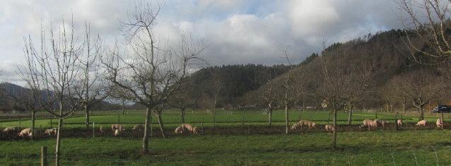 Schweine an Silvester 2015/16 - bringen sie Glück?