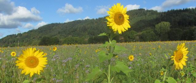 Sonnenblumen und Vezelia im Dreisamtal bei Freiburg am 3.10.2016