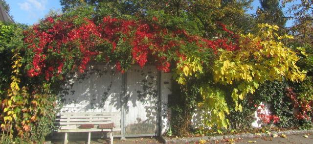 Gartenmauer mit wildem Wein, Efeu und Feige am 16.10.2016