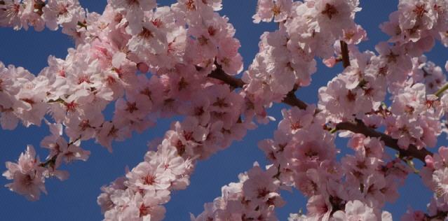 Mandelbaum-Blüte im Kaiserstuhl bei Freiburg am 20. März 2019