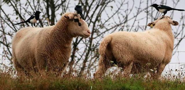 Schafe und Elstern bei Freiburg