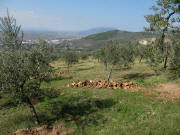 Olive trees in Coste - View to north up to Assisi